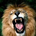 lion roaring